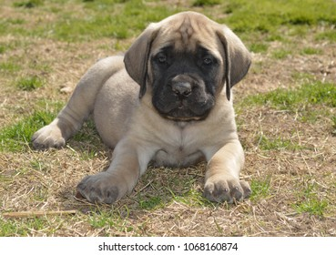 Purebred English Mastiff puppy outside on a sunny summer day