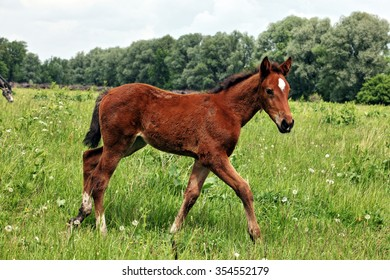 Purebred foal walking on summer meadow