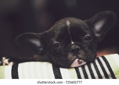 Purebred french bulldog puppy getting used to the new home.