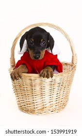 Purebred German Pinscher puppy dressed up in a Santa suit posing in a basket.