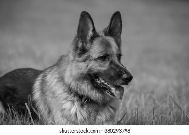 A purebred German Shepherd lying in a meadow monochrome