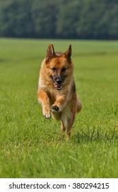 A purebred German shepherd runs in a meadow