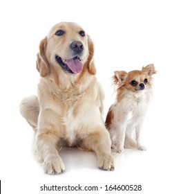purebred golden retriever and chihuahua in front of a white background