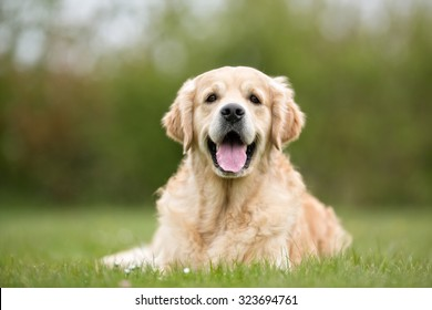 A purebred Golden Retriever dog without leash outdoors in the nature on a sunny day.