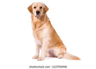 Purebred Golden Retriever isolated sitting looking at camera