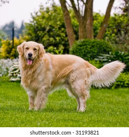 Purebred golden retriever playing in the yard.