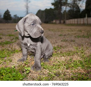 Purebred Gray Great Dane puppy sitting on an autumn field