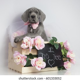 Purebred Great Dane puppy ready for the wedding to start