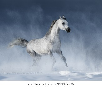 Purebred  grey arabian horse galloping during a blizzard