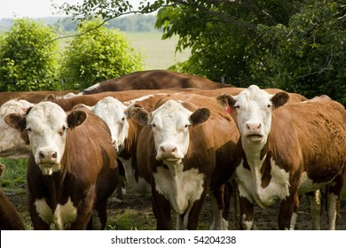 purebred hereford cattle looking from a pasture with trees in background
