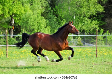 Purebred horse galloping across a green summer corral