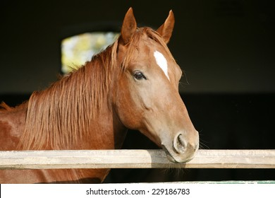 Purebred horse looking over stable door.