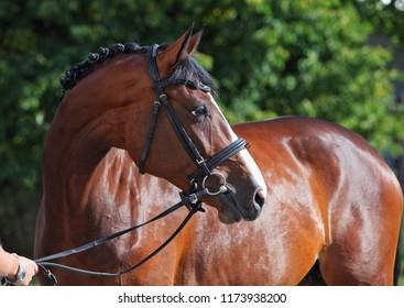 Purebred horse portrait in green summer corral