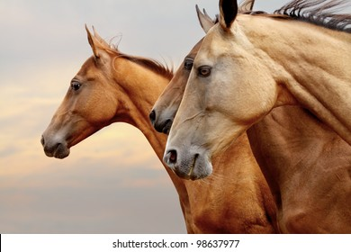 purebred horses closeup in sunset. small depth of field