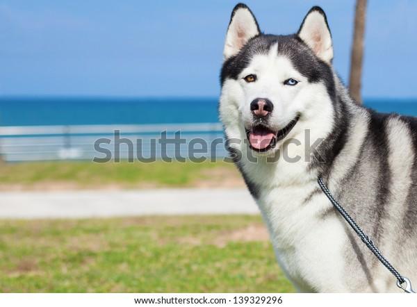 purebred husky resting near the beach