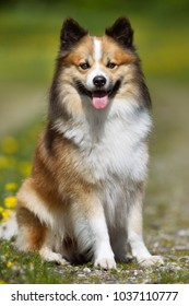 Purebred Icelandic Sheepdog outdoors in the nature on grass meadow on a summer day.