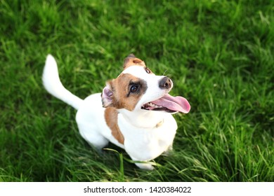 Purebred Jack Russell Terrier dog outdoors on nature in the grass on a summer day. Happy dog sits in the park. Jack Russell Terrier dog smiling on the grass background. Parson Russell Terrier