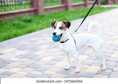 Purebred Jack Russell Terrier dog stands in a park on a leash in the open air. Happy dog in the park is playing with a toy. The dog holds the ball in his mouth. The concept of pets. Copy space