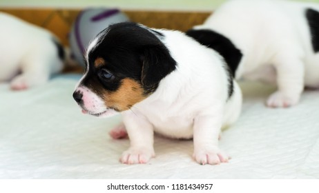 Purebred Jack Russell terrier puppies