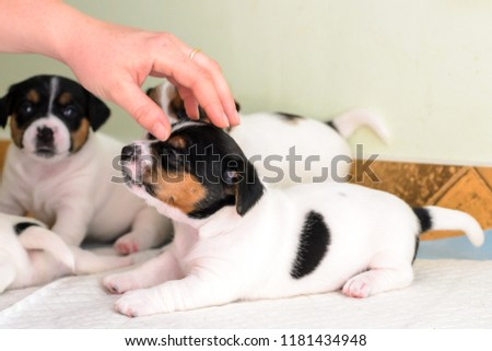 Purebred Jack Russell Terrier Puppies Stock Photo (Edit Now