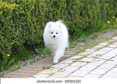 Purebred Japanese Spitz dog portrait