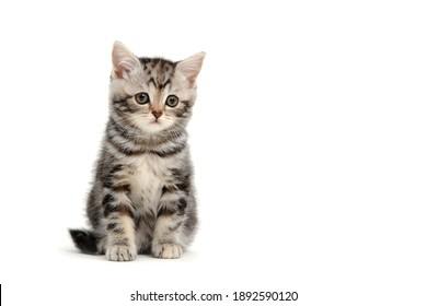 Purebred kitten on a white background