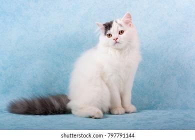 purebred kitten sitting on blue background