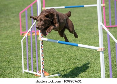 Purebred Labrador retriever dog jumping over obstacle on agility competition