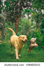 purebred labrador retriever dog playing outdoors in grass park on sunny summer day. labrador with tibetan terrier puppy playing outdoor