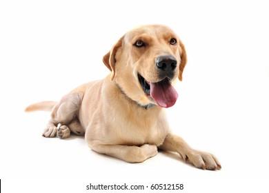 purebred  labrador retriever in front of a white background