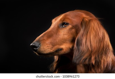Purebred longhaired dachshund indoors in studio and isolated on black background.