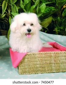 Purebred maltese puppy sitting in a basket
