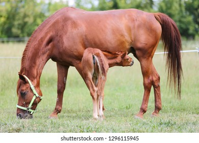 Purebred mare and her few weeks old filly grazing in summer flowering pasture idyllic picture