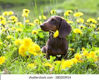 purebred miniature dachshund and dandelions