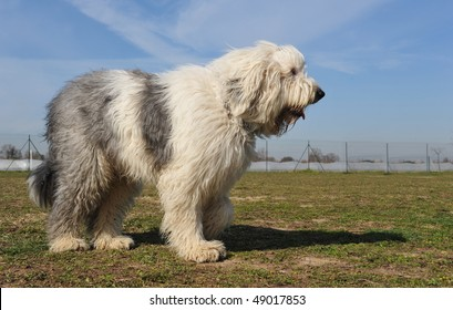 purebred Old English Sheepdog upright in a garden