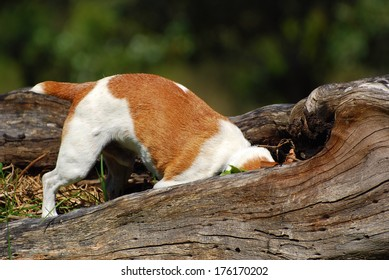 A purebred Parson Jack Russell dog hunting mice in the forest.