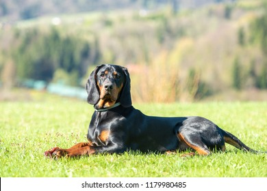Purebred Polish Hunting Dog (previously Polish Scenthound) lying on the green meadow