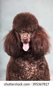 The Purebred  poodle dog isolated  in studio.