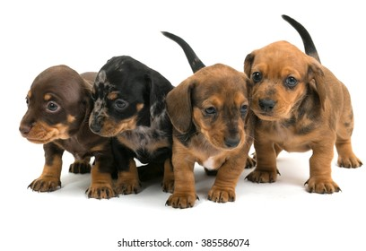 Dachshund Mix Images Stock Photos Amp Vectors Shutterstock
