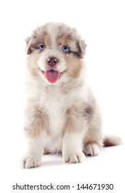purebred puppy australian shepherd  in front of white background