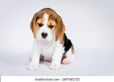 Purebred puppy of dog Beagle breed on a white background in the studio.