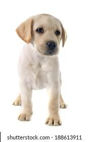 purebred puppy labrador retriever in a studio