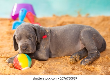 Purebred puppy that is Great Dane closing its eyes on the sand