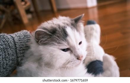 Purebred Ragdoll cat seem sleepy at domestic room.