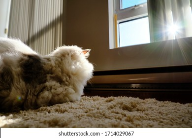 Purebred Ragdoll cat sitting towards sunshine while stay-home-order is placed due to COVID-19 pandemic.