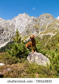 A purebred red German Pinscher dog posing in front of the impressive panorama of the Ohrenspitzen mountain range at the Austrian border to Italy on a beautiful summer's day.