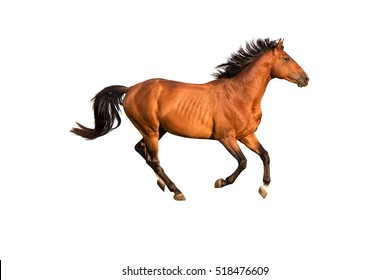 Purebred red horse isolated on white background.
