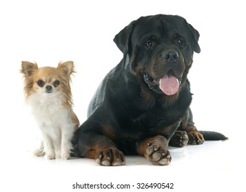 purebred rottweiler and chihuahua in front of white background