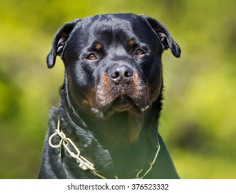 Purebred Rottweiler dog outdoors in the nature on grass meadow on a summer day.
