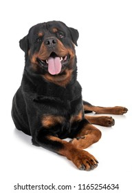 purebred rottweiler in front of white background